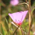 California poppy.- Arroyo Trail