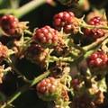 Wild blackberries on Seaview Trail.- Vollmer Peak