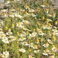 Wild chamomile in Tilden Regional Park.- Vollmer Peak