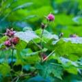 Thimbleberries (Rubus parviflorus).- Lake Elizabeth