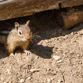 The campground is full of very bold chipmunks.- Owhi Campground