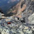 Alpine ladybug.- Ingalls Peak