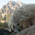 Very habituated goats.- Ingalls Peak