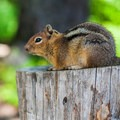 Keep an eye on your snacks, the chipmunks are very bold.- Cooper Lake