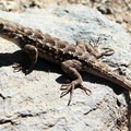 Western fence lizard on the Lupine Trail.- Vollmer Peak