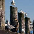 Cormorants and gulls are a two of several species of birds that can be seen along the route.- Golden Gardens to West Point Lighthouse Sea Kayaking