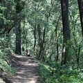 The first mile of the hike traverses through a thick forest of pine and madrone.- Mount Saint Helena