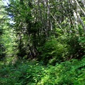 The trail proceeds through young alder and vine maples.- Beckler Peak Trail