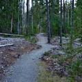 Lodgepole pine trees along Thunder Knob Trail.- Thunder Knob
