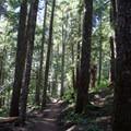 The Beckler Peak Trail enters an old-growth forest.- Beckler Peak Trail