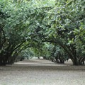 Much of Dorris Ranch is a working filbert orchard.- Dorris Ranch Living History Farm