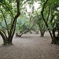 The filbert orchard at Dorris Ranch.- Dorris Ranch Living History Farm