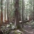 The South Breitenbush Trail climbs gradually through a quiet, pretty forest.- Bear Point