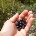 There are plenty of ripe huckleberries in August.- Bear Point