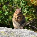 A squirrel eating along the Lake Ann Trail.- Lake Ann via Maple Pass Loop