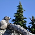 Hoary marmot at Maple Pass.- Maple Pass Loop Hike