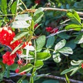 Red Edelberry (Sambucus racemosa) in Lost Valley.- Tenaya Canyon Descent