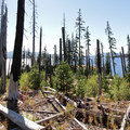 The forest to the north of Waldo Lake is starting to show signs of regenerating from the 1996 Charleton Fire.- Waldo Lake Trail