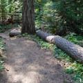 Gentle trail through Douglas fir and cedar trees.- Hidden Lake