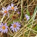 Even in fall, wildflowers spring from the grassy dunes.- Carter Dunes