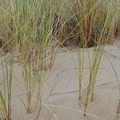 European beachgrass, an invasive species, is common throughout the dunes.- Carter Dunes