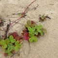 Strawberry plants send off bright red runners across the sand.- Carter Dunes