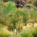Huckleberry bushes starting to show their fall colors.- Mount Thielsen