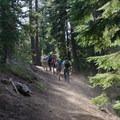 Climbing through the mountain hemlocks.- Mount Thielsen