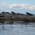 Seals along the paddle.- Matia Island to Orcas Island Sea Kayaking