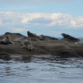 Seals off the shoreline of Matia Island.- Matia Island State Park