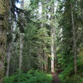 Trail leading into an old-growth forest.- Commonwealth Basin Trail to Red Pass