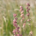 Prairie grasses.- Banks-Vernonia Trail