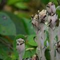 Corpse Plant (Monotropa uniflora).- Banks-Vernonia Trail