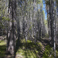 The trail traverses some dense lodgepole forests beyond Marshall Lake.- Alpine Way Trail, Fishhook Creek to Iron Creek