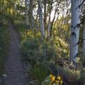 The Alpine Way Trail climbs above Fishook Creek through several aspen groves.- Alpine Way Trail, Fishhook Creek to Iron Creek