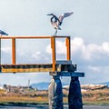 A crane strectches its wings on a pier.- Dungeness Bay Sea Kayaking