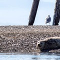 A seal resting on an island.- Dungeness Bay Sea Kayaking