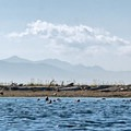A large pod of seals in the water.- Dungeness Bay Sea Kayaking