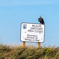 A bald eagle rests on a warning sign on the south end of Graveyard Spit.- Dungeness Bay Sea Kayaking