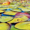 Lily pads on Lake Ozette.- Ozette Lake Sea Kayaking