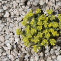 An unknown flower growing among granite pebbles.- Alpine Way Trail, Iron Creek to Stanley Lake
