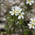 Nuttal's Linanthus (Linanthus nuttallii).- Alpine Way Trail, Iron Creek to Stanley Lake