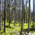 Lodgepoie forests in the Decker Creek drainage.- Alpine Way Trail, Redfish to Huckleberry Creek