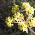 Sulphur flower buckwheat (Eriogonum umbellatum).- Alpine Way Trail, Redfish to Huckleberry Creek