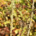 Song sparrow (Melospiza melodia).- Fern Ridge Wildlife Area, East Coyote Unit