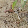 Bush rabbit (Sylvilagus bachmani).- William L. Finley National Wildlife Refuge, Snag Boat Bend Unit
