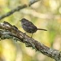 Song sparrow (Melospiza melodia).- William L. Finley National Wildlife Refuge, Snag Boat Bend Unit