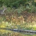 Black-tailed deer (Odocoileus hemionus).- William L. Finley National Wildlife Refuge, Snag Boat Bend Unit