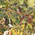 Savannah sparrow (Paserculus sandwichensis).- William L. Finley National Wildlife Refuge, Snag Boat Bend Unit