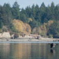 A cormorant flies across the water.- Hammersley Inlet Sea Kayaking